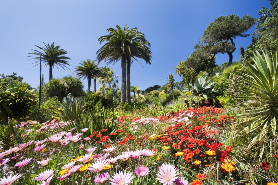 Tropical vegetation in the Abbey gardens on Tresco, one of the Scilly Isles, off South West Cornwall, UK.