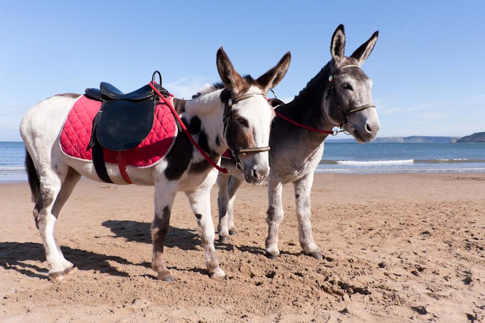 Two cute long earred donkeys stand waiting for customers at the sea-side.